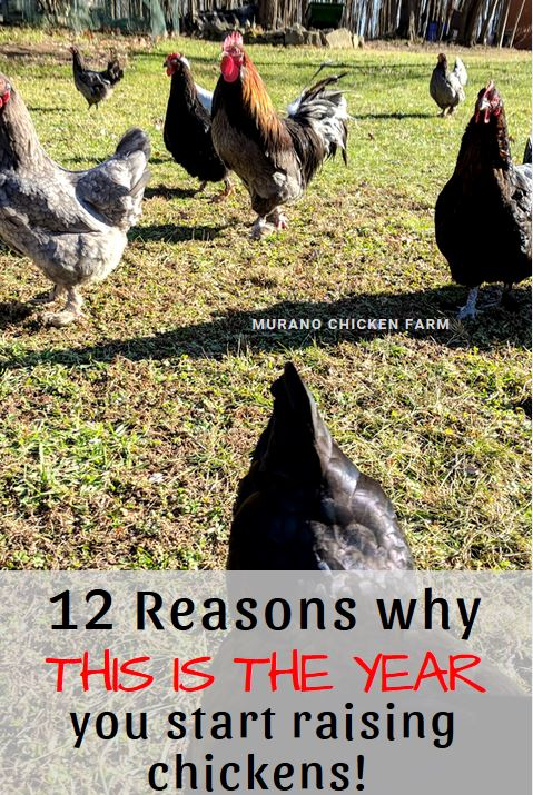 12 Reasons To Raise Chickens On Your Homestead Murano Chicken Farm