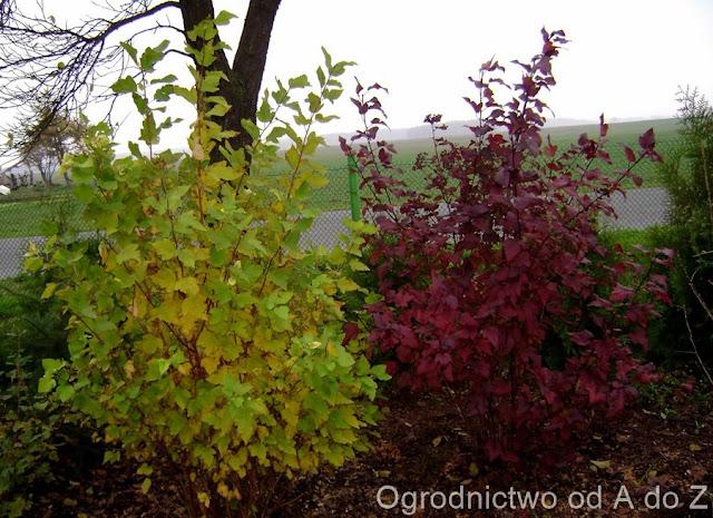 Pęcherznica kalinolistna, Jesień w ogrodzie