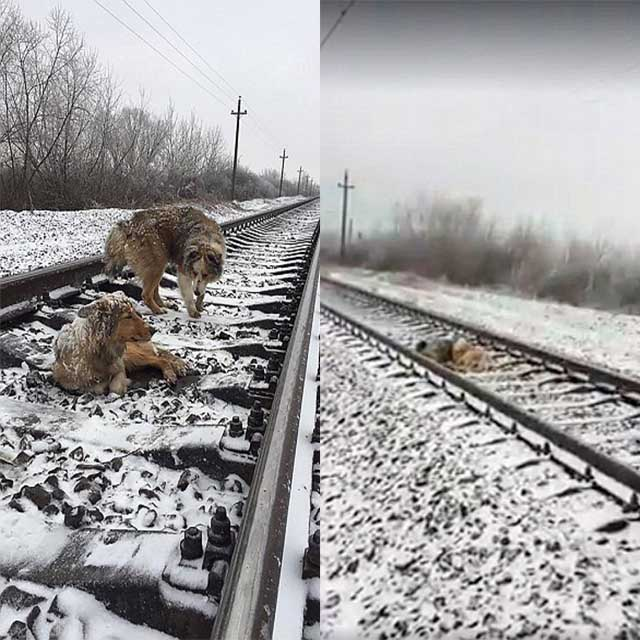 Dog Too Injured To Move From A Track Is Saved By Her Companion Who Protects Her From Trains.