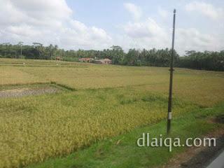 tanaman padi ada yang mulai menguning (2)
