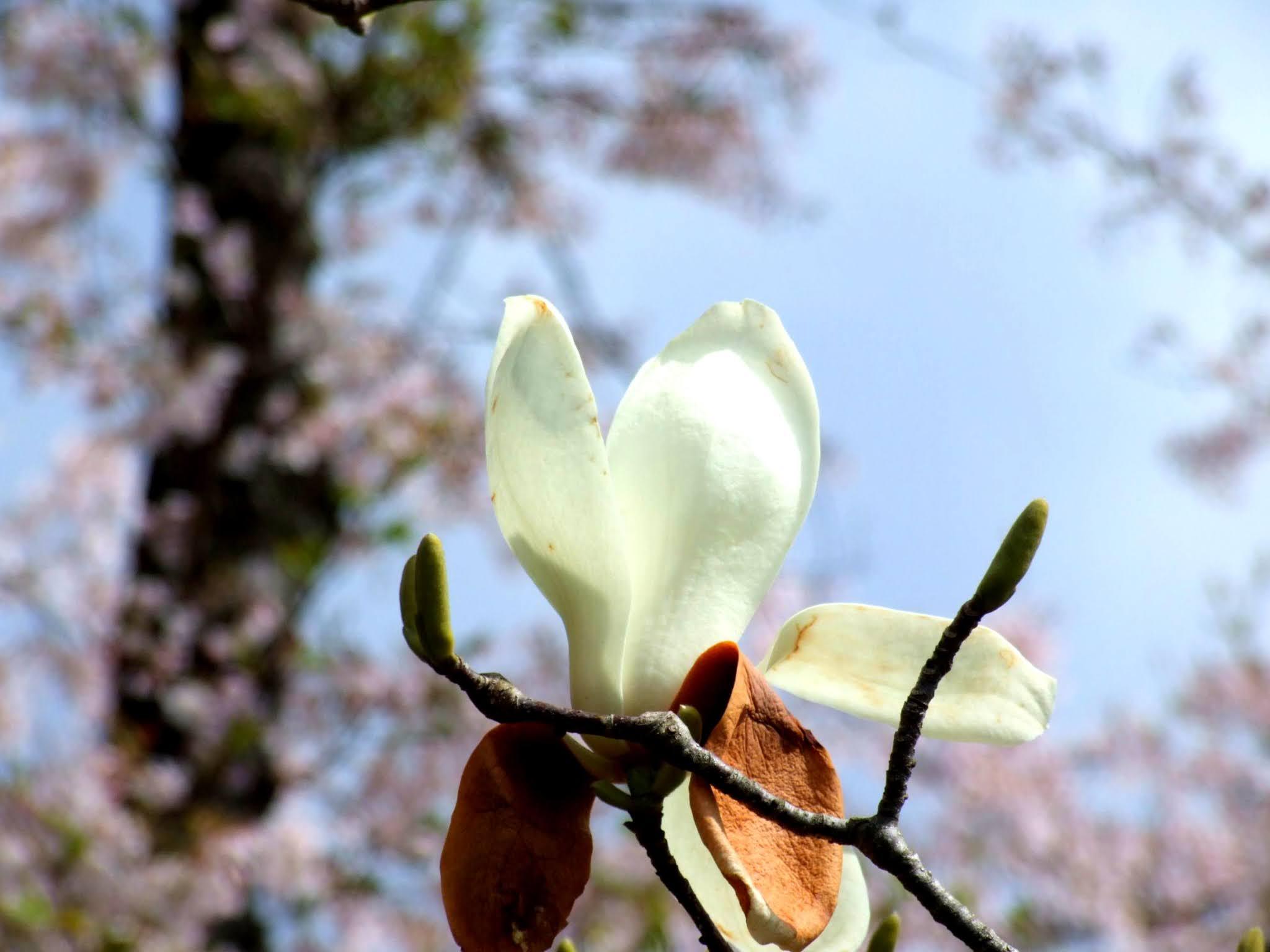 春に咲くコブシの花の写真素材です。コブシって田打ち桜とも言うんですね。ちなみに、コブシもハクモクレンなどと同じ木蓮系の花なんですね。