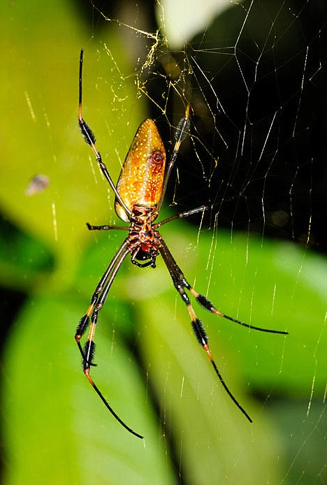 The rich environments of Panama and Costa Rica allowed the researchers to investigate a huge number of spider species including giants such as this golden silk orb-weaver (Nephila clavipes), which weighed 400,000 times more than the smallest