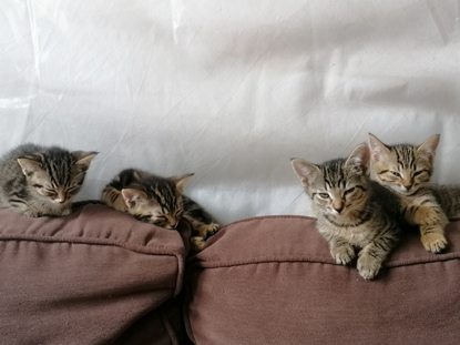 Four tabby kittens sitting on the back of a brown sofa