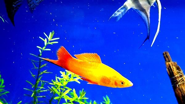 How to make money through breeding Swordtail fish