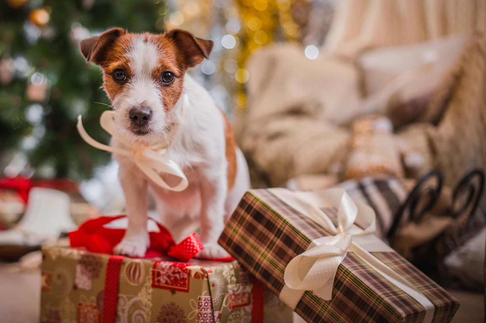 Jack Russell Terrier puppy perched on top of Christmas presents looks intensely at the camera