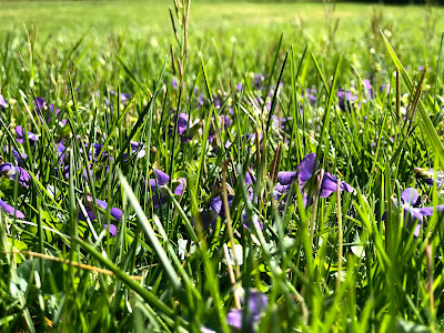 grassy field sprinkled with purple violets
