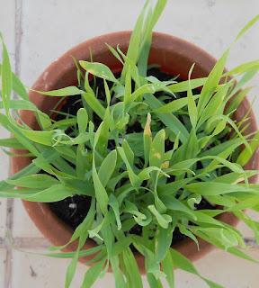 hierba para bolas de pelo en gatos