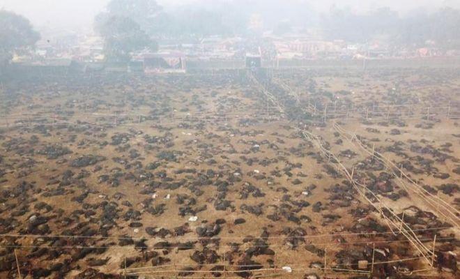 Nepal: matan en un día 300.000 animales... ante el silencio de los animalistas