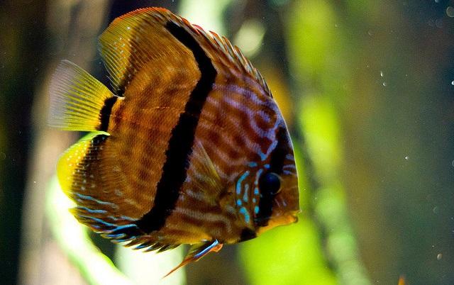 Budidaya Ikan Discus - Budidaya Ikan