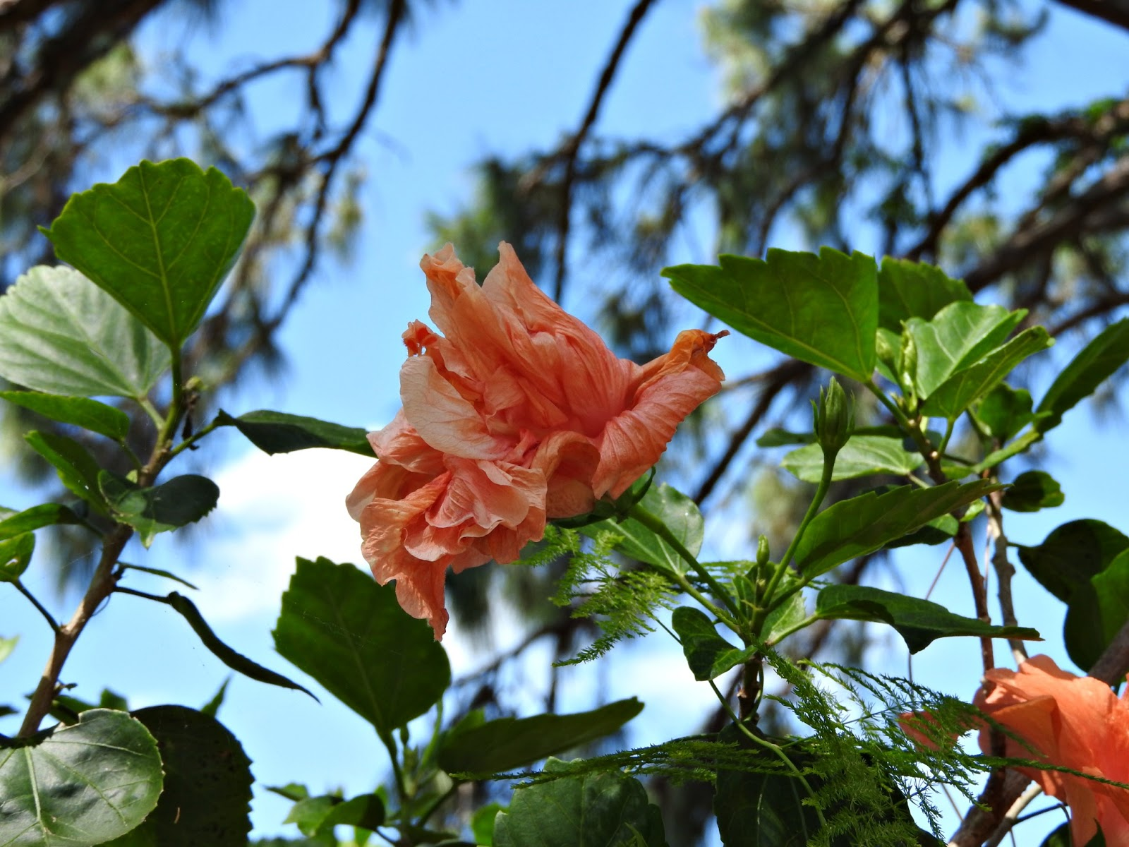 Mad Snapper High In The Sky Hibiscus
