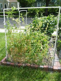 Vertical Gardening How To Build A Pvc Trellis