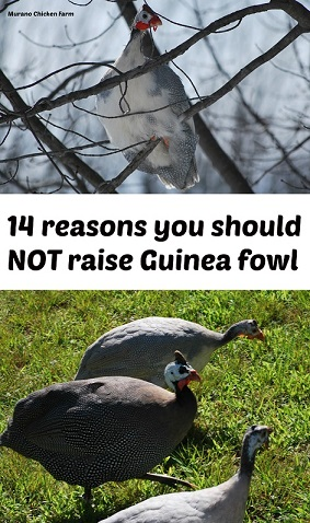 Don't raise guinea fowl