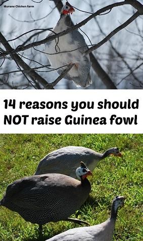 Don't raise guinea fowl
