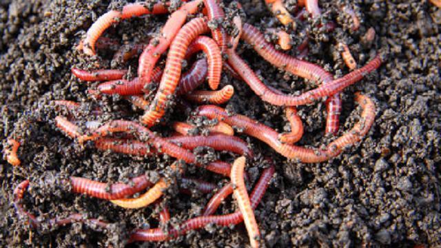 usaha sampingan cacing tanah