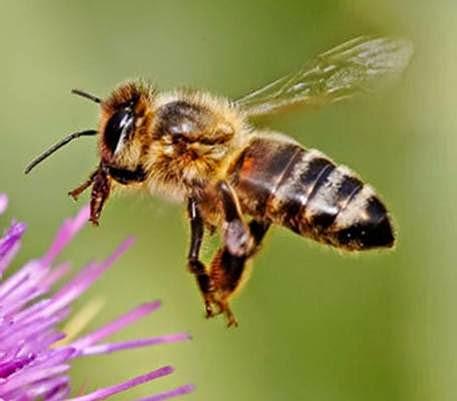 lebah afrika