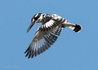 Early morning Pied King Fisher - Woodbridge Island 02