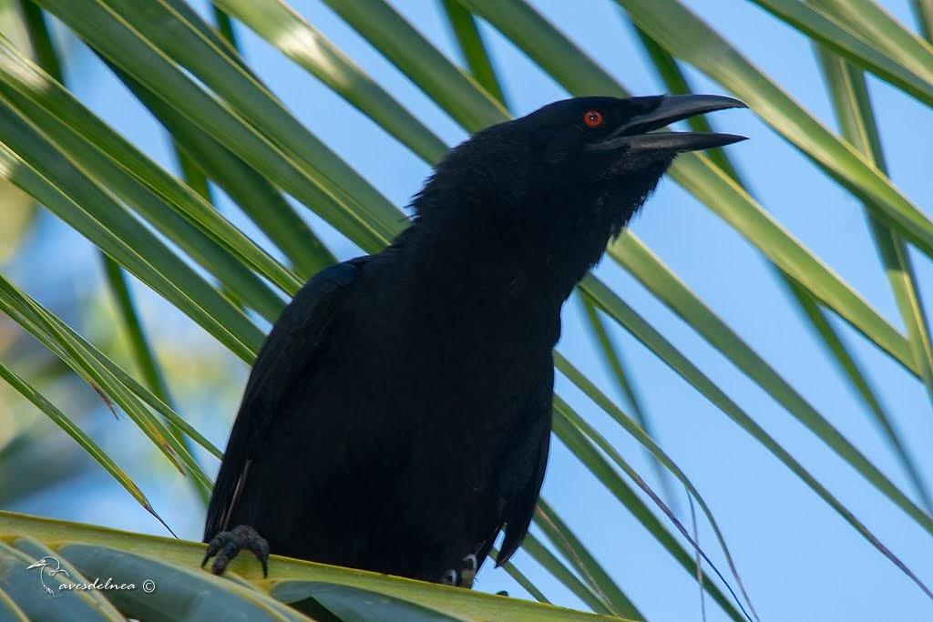 Cuervo de La Española (White-necked Crow) Corvus leucognaphalus (Daudin, 1800)