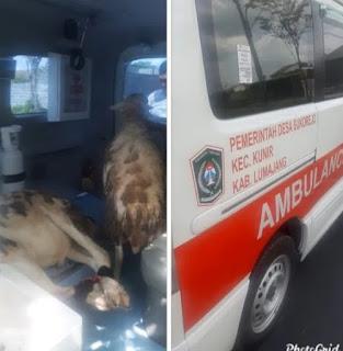 Mobil Ambulance Desa Angkut Kambing