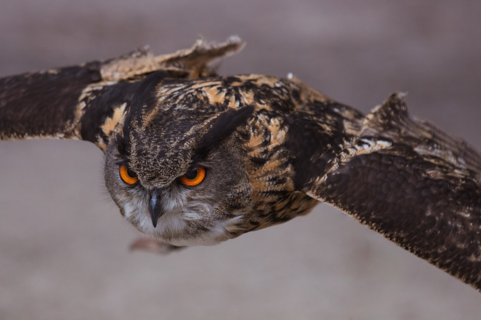 close-up-shot-it-an-owl-bird-pictures