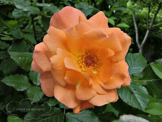 Роза Sutter's Gold, розы, розарии, сад и розы