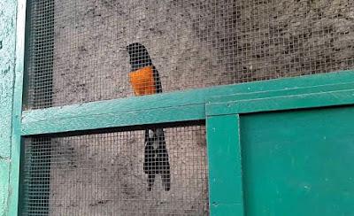 Burung Murai Batu Sabang