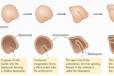 Pertumbuhan dan Perkembangan pada Hewan dan Manusia (Tahap Embrionik dan Pasca Embrionik)