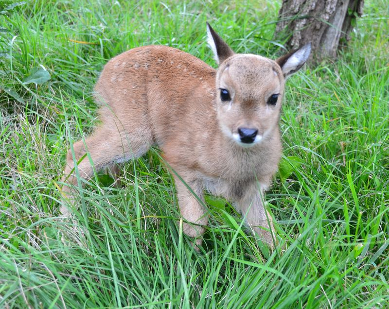Baby Animals: Deer fawn 2
