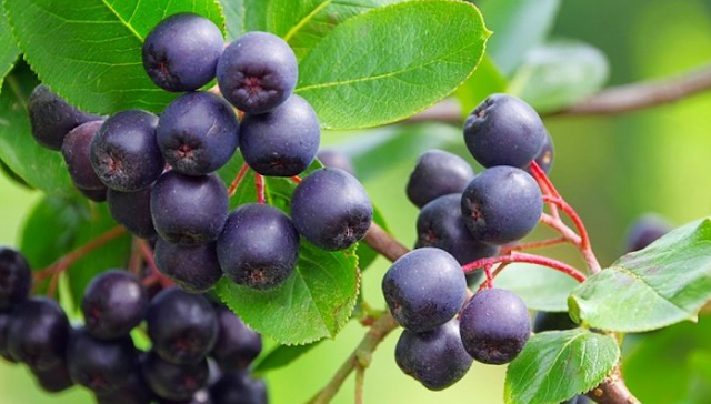 Benefits of Acai Berry for Body Health