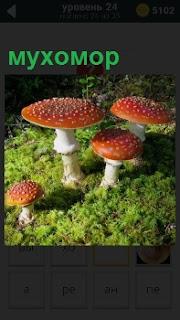 В лесу на поляне растут грибы, одни из самых ядовитых под названием мухомор