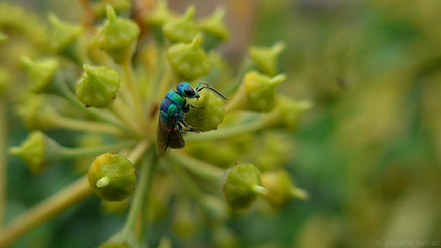 Fotografia di insetto su fiore di edera