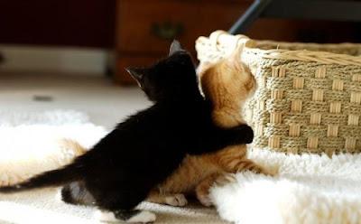 fotografia de gatos jugando