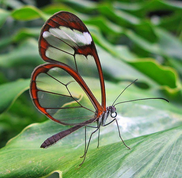 Image of the Glasswing Butterfly known for its transparent wings