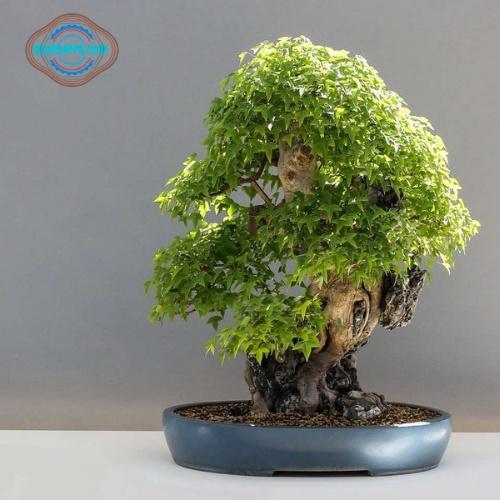 Suhu paling ideal untuk tanaman bonsai