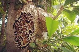 10 manfaat sarang semut Papua untuk kesehatan