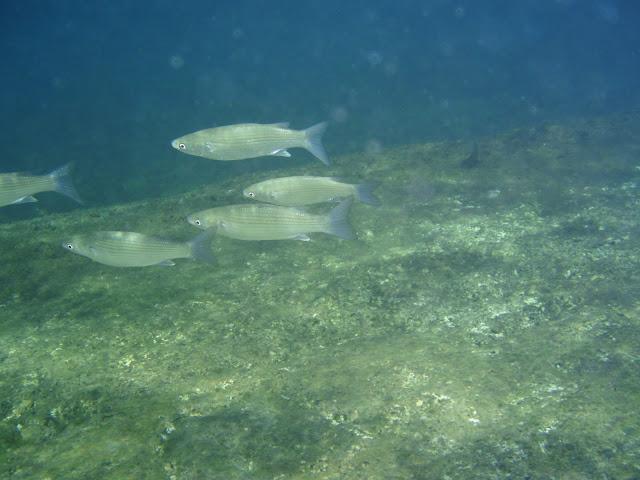 Kastenmaul Meeräsche © Canarian Sea 03