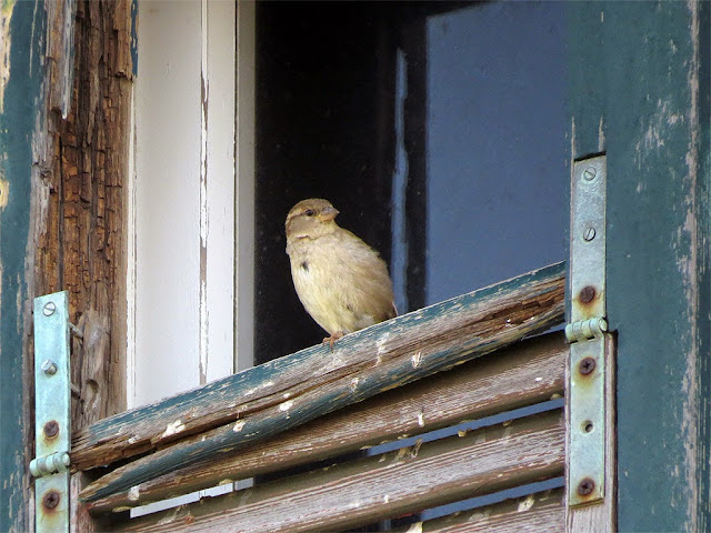 Sparrow at a window, abandoned building, port of Livorno