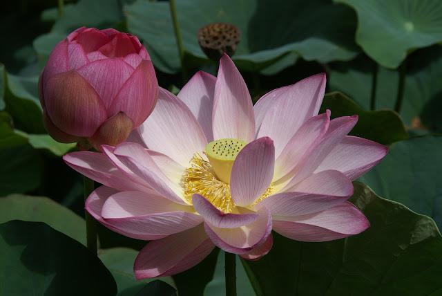 lotus japonais