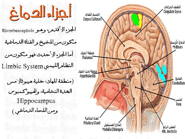 رسم أجزاء الدماغ