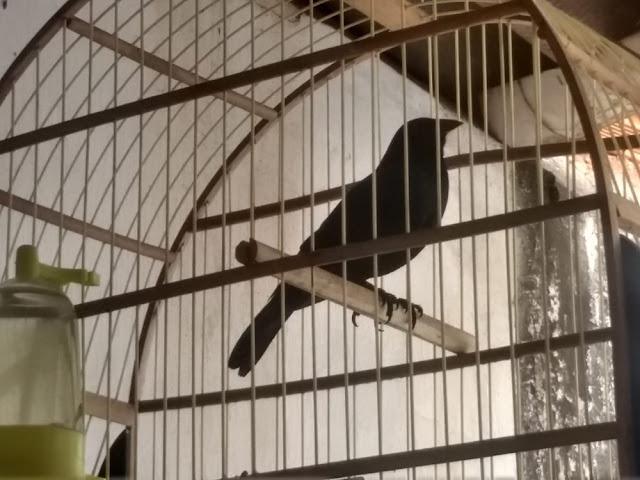 Fiscalização resgata aves silvestres mantidas irregularmente em cativeiro em residência