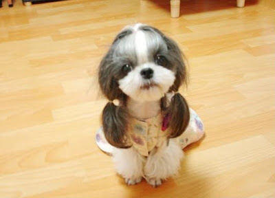 Funny photo: A Pup with Two Ponytails