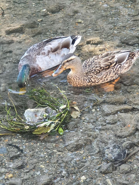 ducks-eating-pumpkinseeds