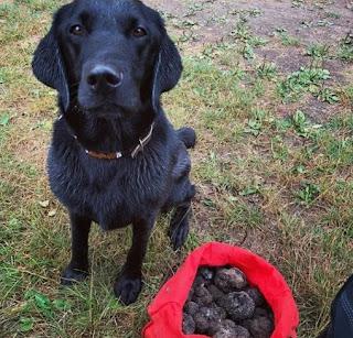 cão treinado para farejar trufas