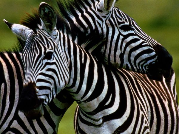 Did you know that a baby zebras can run about one hour after birth.