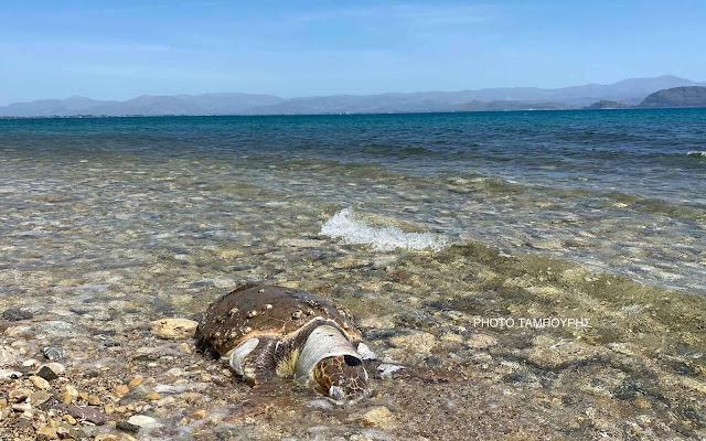 Νεκρή θαλάσσια χελώνα στο Κιβέρι Αργολίδας