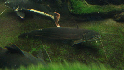 Temperamen Tapah Catfish