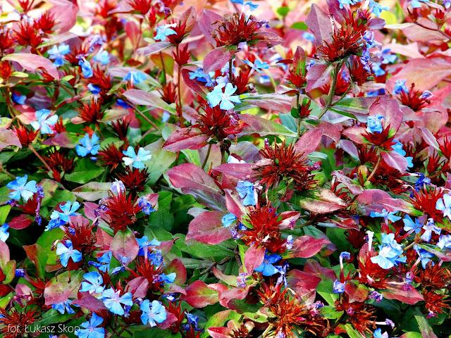niebieskie kwiaty na skalniaku