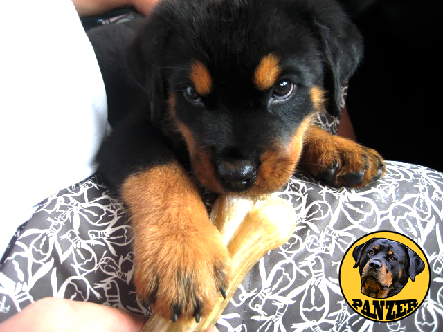my Rottweiler photo