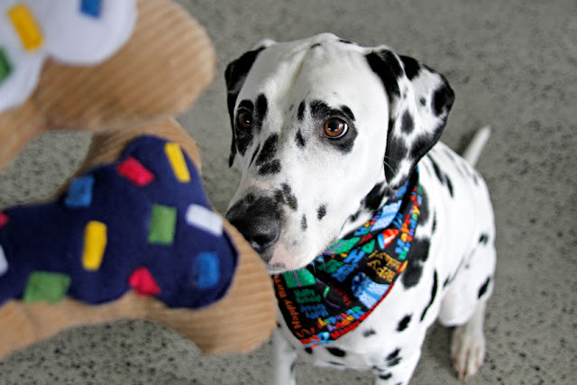 Dalmatian dog in birthday bandana begging for bone shaped dog toys.