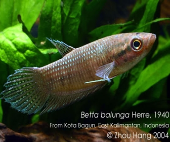 Jenis Ikan Cupang Spesies Betta Balunga