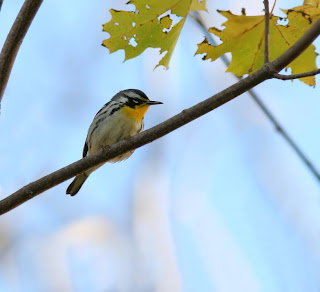 Yellow-throated Warbler in Newfoundland